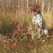 Охота на вальдшенпа с курцхааром осенью